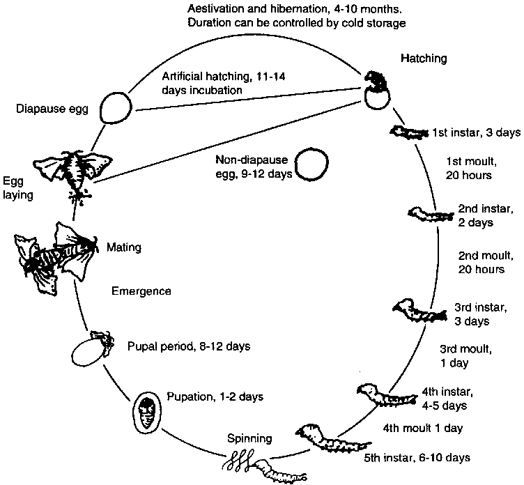 scorpion life cycle diagram